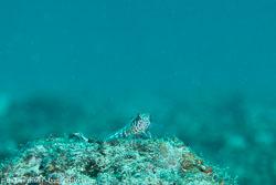 BD-130709-Maldives-9845-Parapercis-signata.-Randall.-1984-[Blackflag-sandperch].jpg
